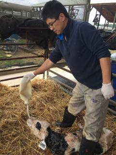2015 May intern Zhao Fei feeding colostrum